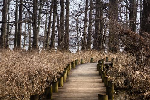 trees woods swamp marsh planks reelfootlake reelfootlakestatepark