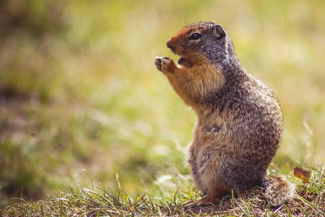 Columbian Ground Squirrel - Canadian Rockies, BC, Canada