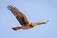Juvenile Northern Harrier