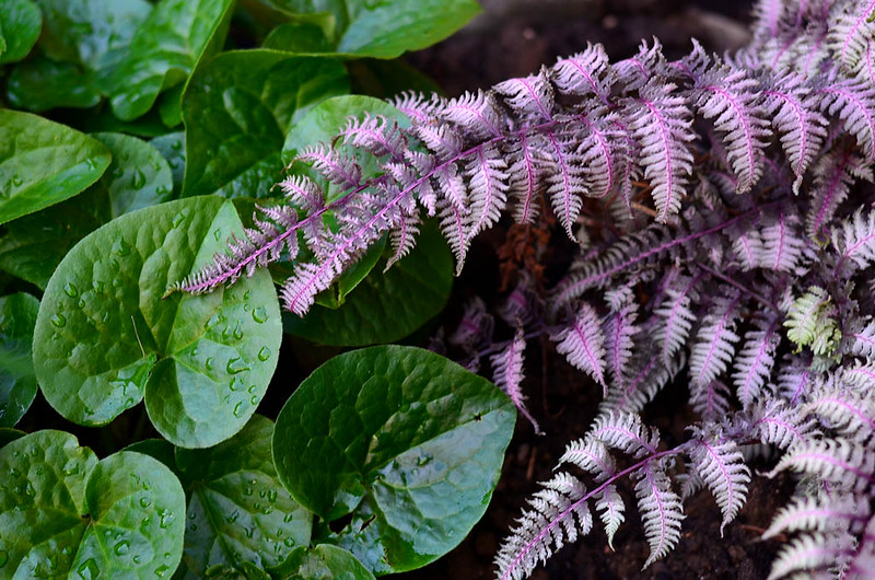 Wild Ginger (Asarum) and Athyrium niponicum var. pictum 'Burgundy Lace'