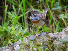Bluethroat_JohnWright