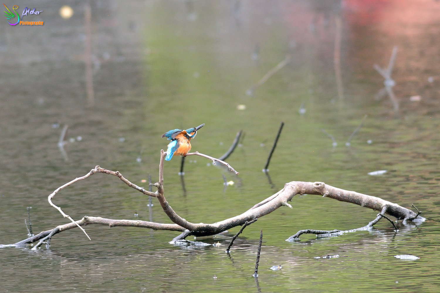 Common_Kingfisher_4119