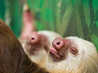 Sloths, Cahuita