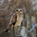 Short-eared Owl (Asio flammeus) by gndaskalova