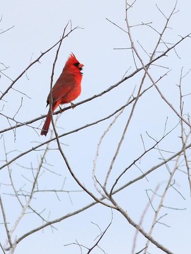 Northern Cardinal 20160228