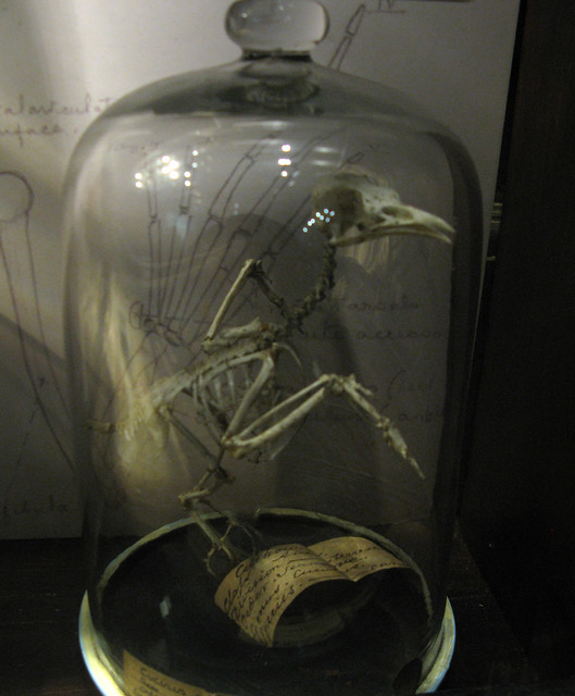 Grant Museum bell-jar bird