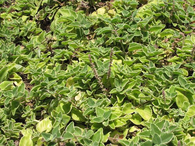 starr-120522-6649-Plectranthus_amboinicus-habit-Iao_Tropical_Gardens_of_Maui-Maui