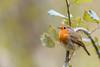 Rouge gorge ( Erithacus rubecula )