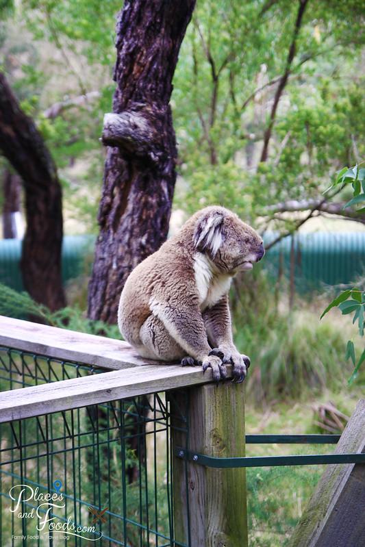 phillip island the koala conservation centre koala on boardwalk
