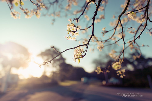 travel usa lens photography dawn myrtlebeach us spring unitedstates bokeh blossoms review southcarolina wideangle flare cherryblossoms fullframe comparison wideopen 2016 surfsidebeach photodujour canoneos6d thousandwordimages dustinabbott dustinabbottnet adobephotoshopcc adobelightroomcc alienskinexposurex sigma20mmf14dghsmart