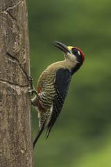 Black-cheeked Woodpecker - Sarapiqui - Costa Rica_MG_0197