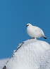 Male Ptarmigan on rock