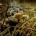 Spring Peeper (Pseudacris crucifer) -  male and female in amplexus (underwater)