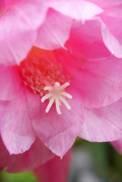 孔雀サボテン/ Epiphyllum hybrids