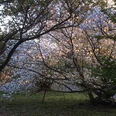 double date❤︎  #ninnaji #kyoto #nofilter #cherryblossom #japan #桜 #仁和寺 #京都