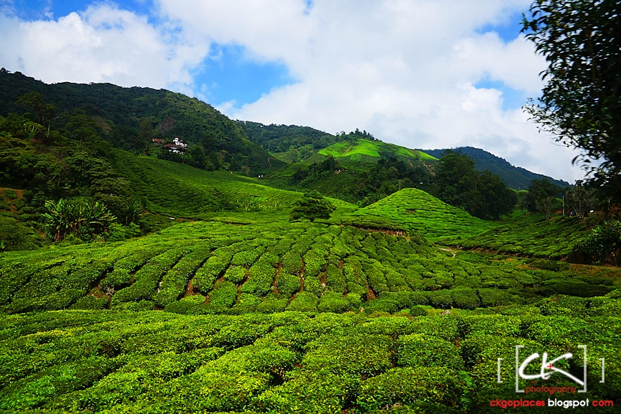Cameron_Highlands_018