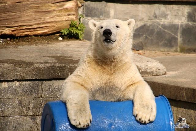Eisbär Fiete im Zoo Rostock 16.04.2016  316