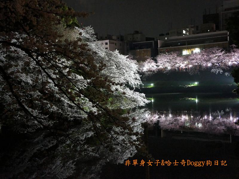 日本東京北之丸公園千鳥之淵賞夜櫻花06