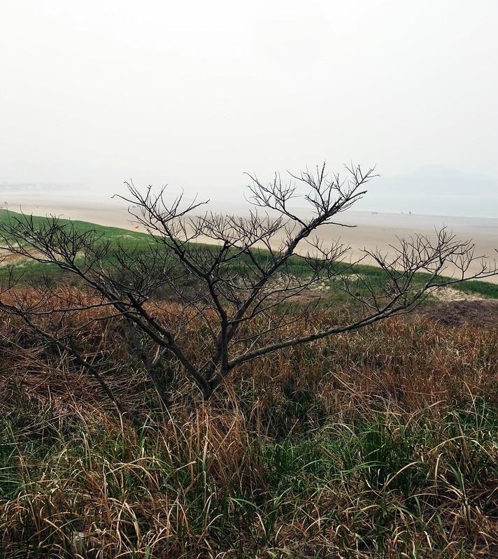 Lone Tree Sinduri Dune, Taeanhaean National Park