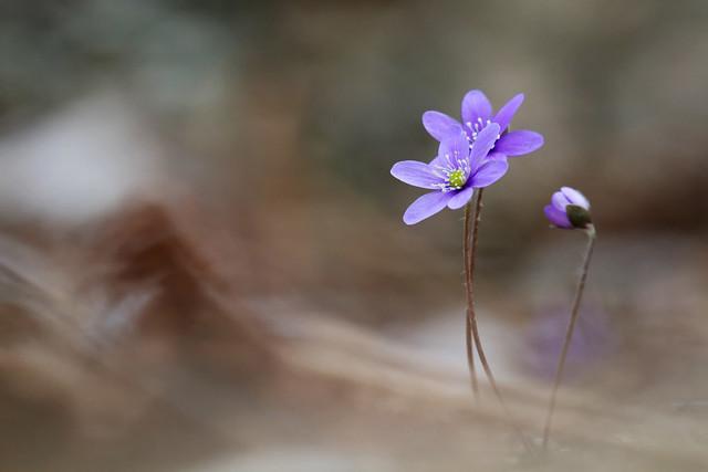 Sinivuokko - Hepatica nobilis