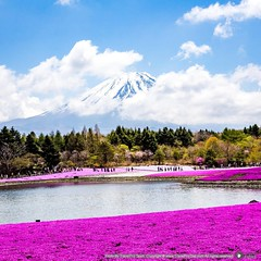 Pink Moss   Shibazakura  Shibazakura (scientific name: Phlox subulata) is a perennial of the family Polemoniaceae, and a species of phlox. From April to May, it blooms in small blossoms of around 1.5 cm diameter, in red, pink, white, or purple.  Shiba Sak