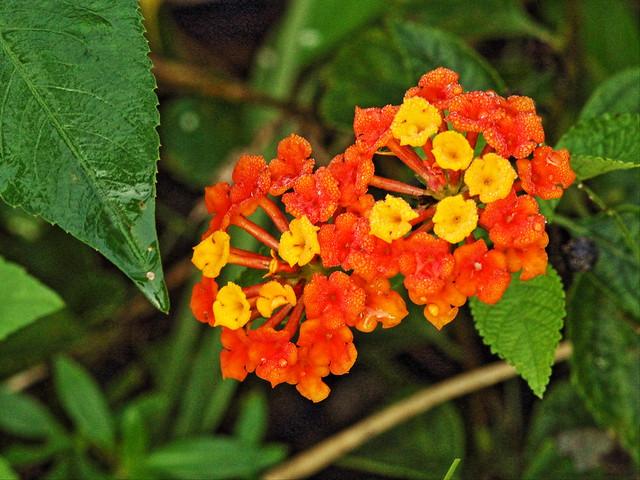 Lantana flowers 20160113