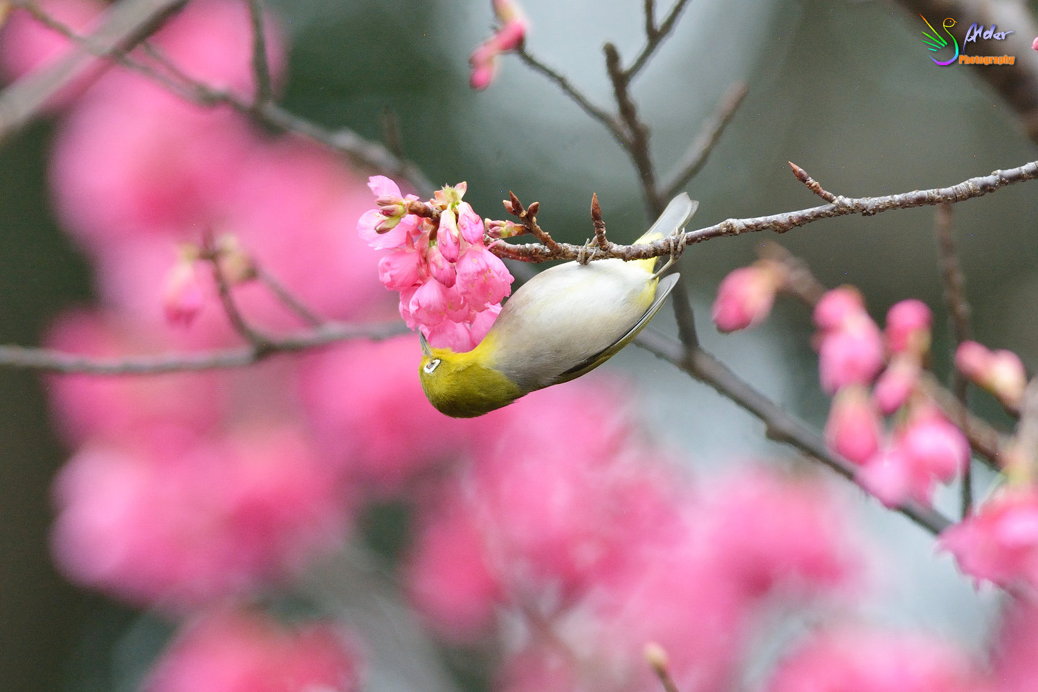 Sakura_White-eye_5778