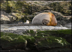Pinnipeds-Seals and Sea lions