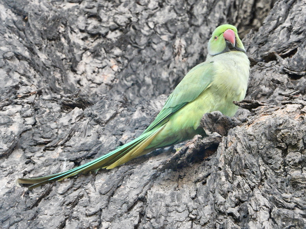 Parrot in India
