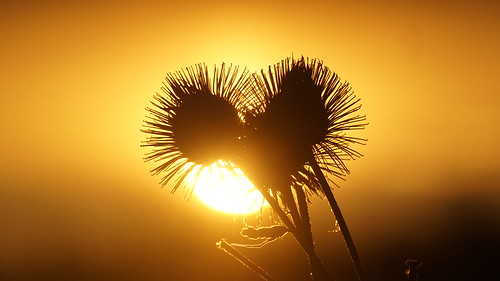 hooks: sunrise behind a thistle