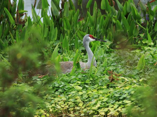 Sandhill Crane on nest 20160221