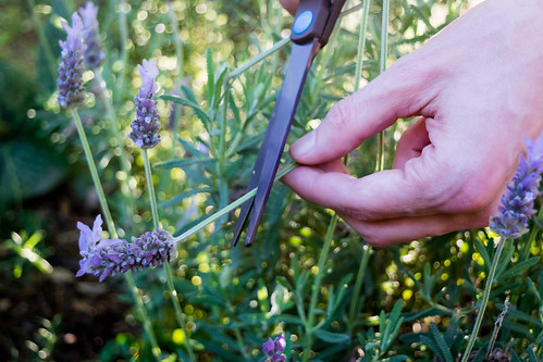 snipping lavender in the garden