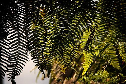 20160223_IGP0329 fern leaf texture