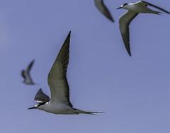 Royal Terns flying overhead