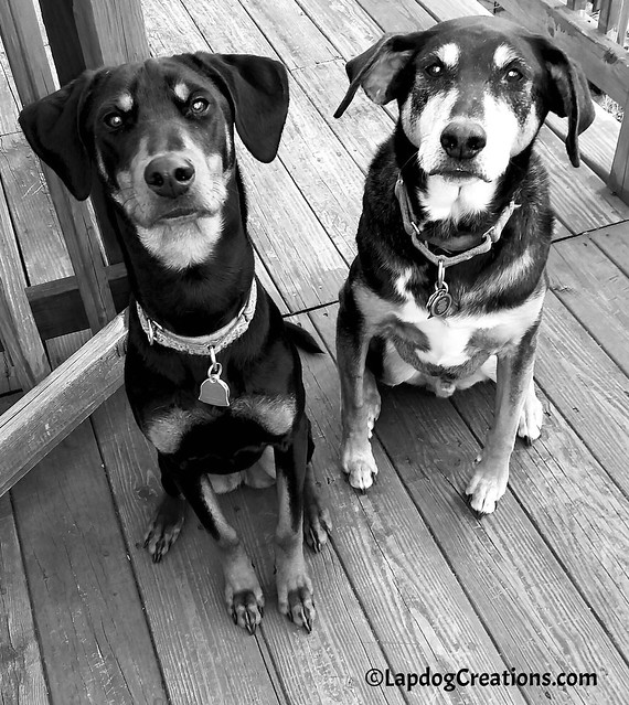 Got Treats?  Penny & Tut would sure love one! #rescueddogs #adoptdontshop #dogblogger #LapdogCreations ©LapdogCreations