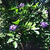 Texas Mountain Laurel in bloom and the delightful scent is in the air. #dodgingbeeswhileipost