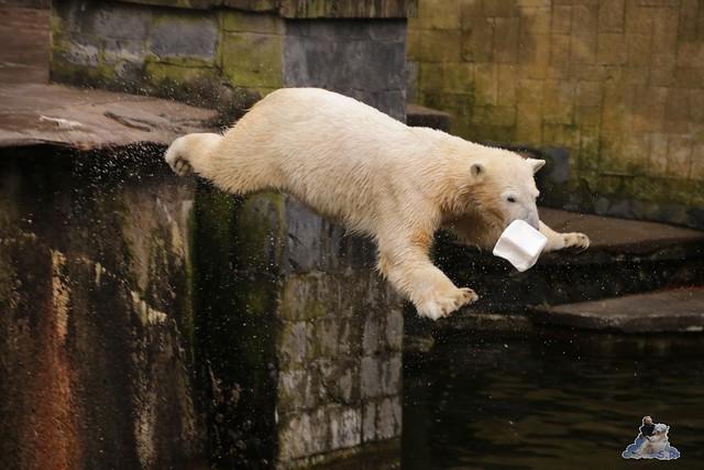 Eisbär Fiete im Zoo Rostock 12.03.2016   053