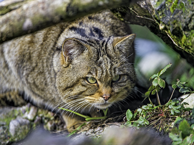 Wildcat under the log
