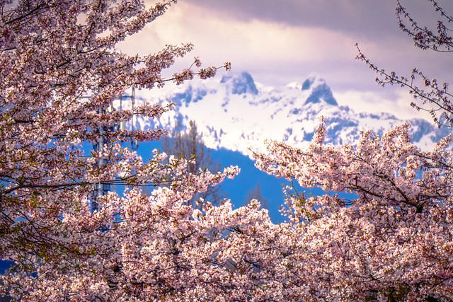 "Cherry Blossoms with the Mysterious Mountain Peaks ""The Lions"" in Vancouver"