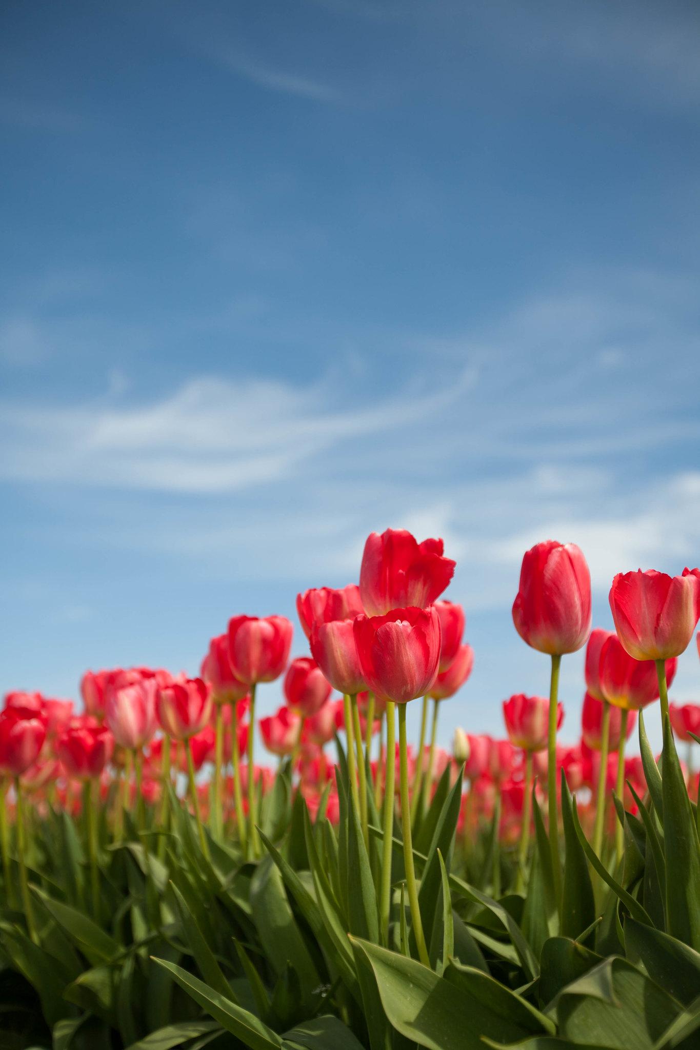 Tulips, SOOC Part 2