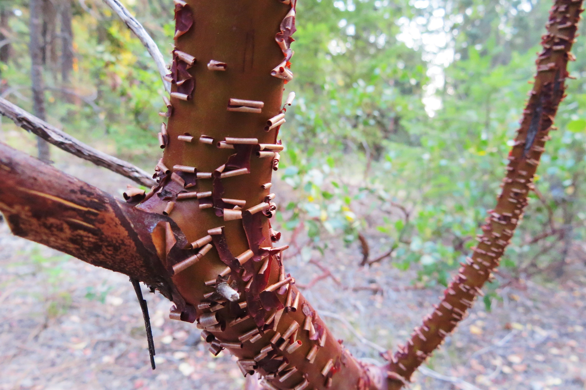 Manzanita Tree, Rogue River Forest, Oregon