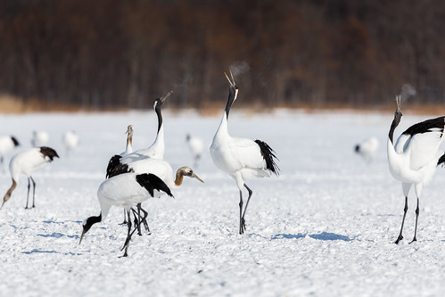 Red Crowned Crane