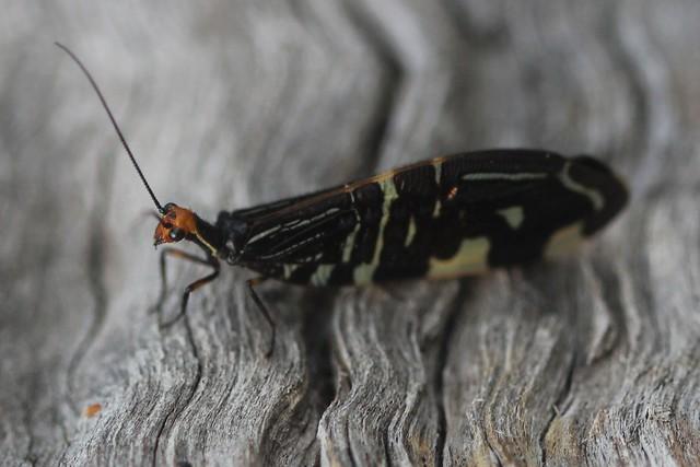 Pied Lacewing - Porismus strigatus