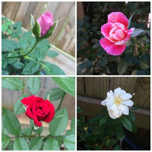 i can't believe i grow roses