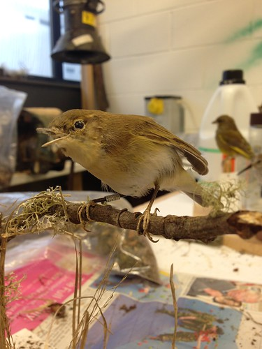Willow Warbler base