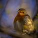 Spring Robin