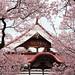 高遠の桜3 by * Yumi *