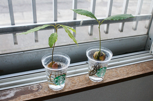 plants - アボカド
