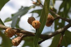 Quercus laevis