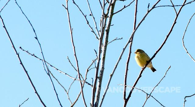 Brookside Inn/Lesser Goldfinch